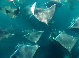 sea bats